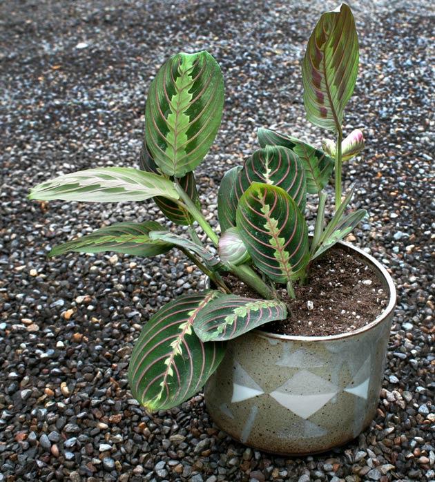 simphome plant