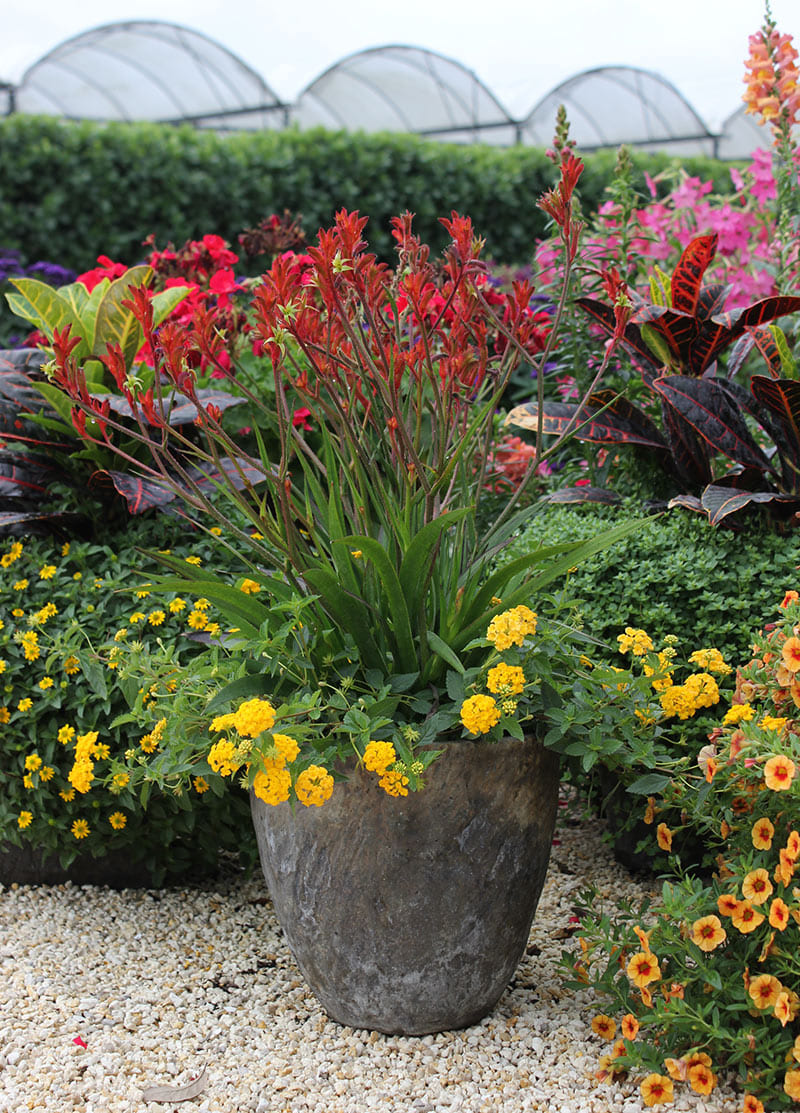 container combo ideas from costa farms costa farms with regard to plant combination ideas for container gardens