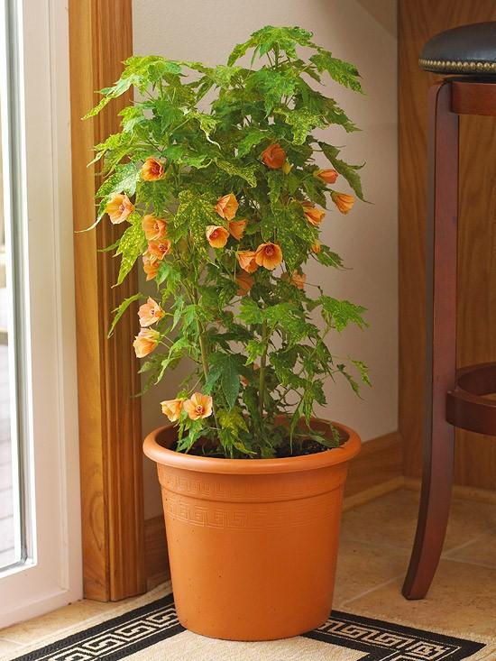 7. Flowering Maple via SIMPHOME.COM
