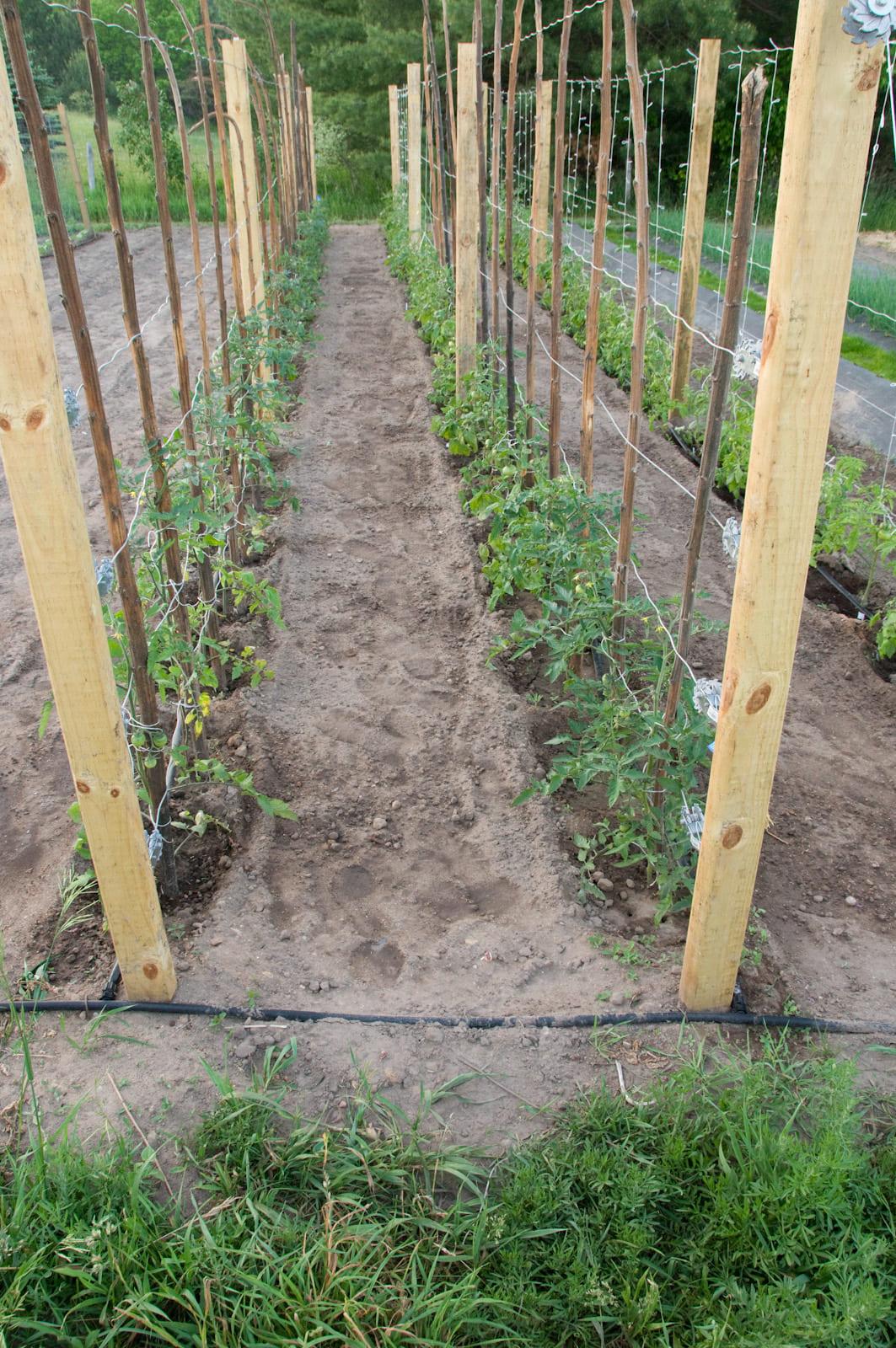 25 trending tomato garden ideas on pinterest growing tomatoes l in tomato garden ideas