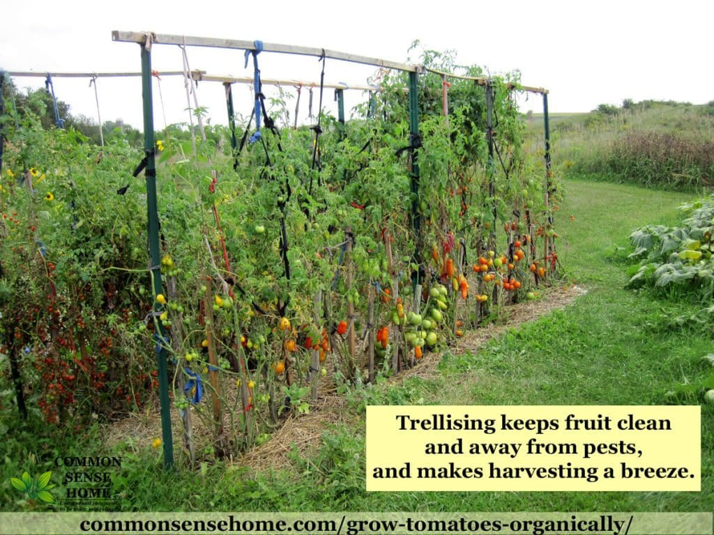 5 terrific tomato trellis ideas for easier picking and cleaner tomatoes throughout 10 ideas for garden tomatoes most stylish and stunning