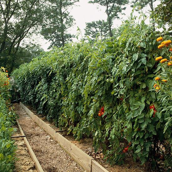 8.Simphome.com Tomato Privacy Screen 1