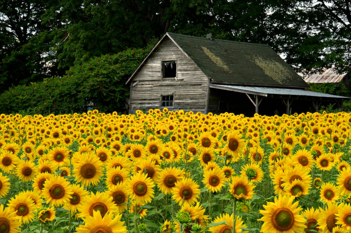 Simphome.com sunflower for home garden the right growing method acegardener with regard to 2020 2021 2022