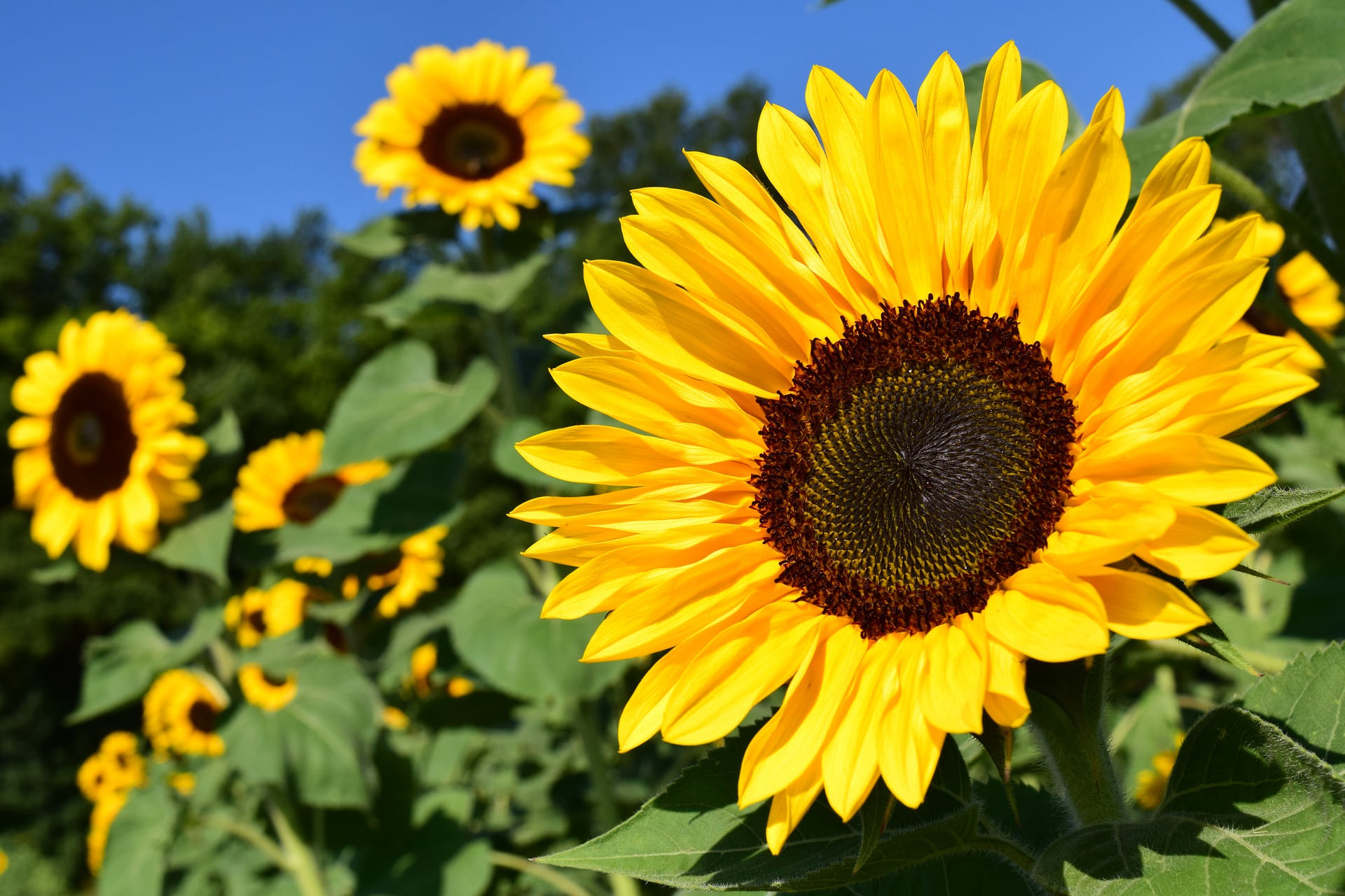 Simphome.com sunflowers how to plant grow and care for sunflower plants for 2020