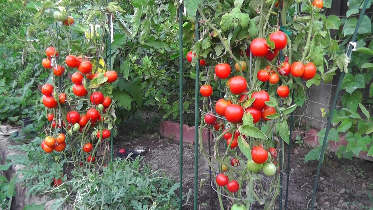 grow tomatoes not foliage youtube regarding 10 ideas for garden tomatoes most stylish and stunning