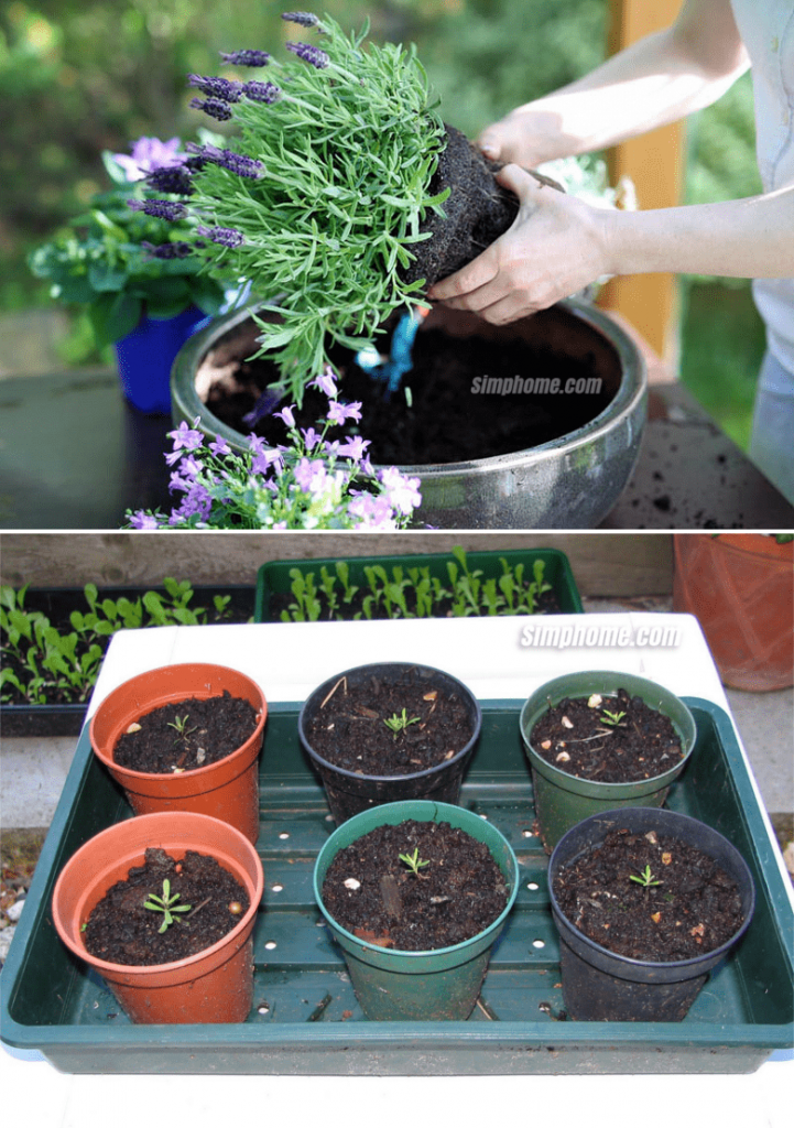 7. Lavender in Container ideas by Simphome.com