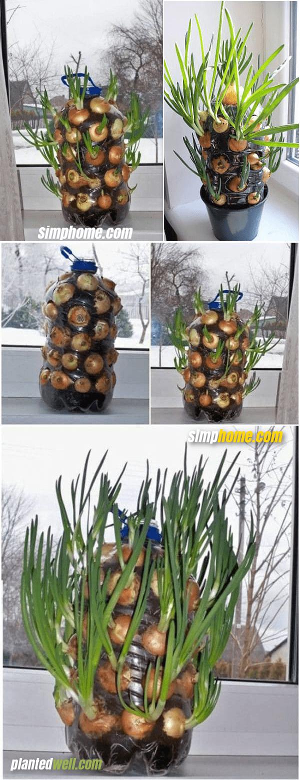 4.Grow Onions Indoor via Simphome.com