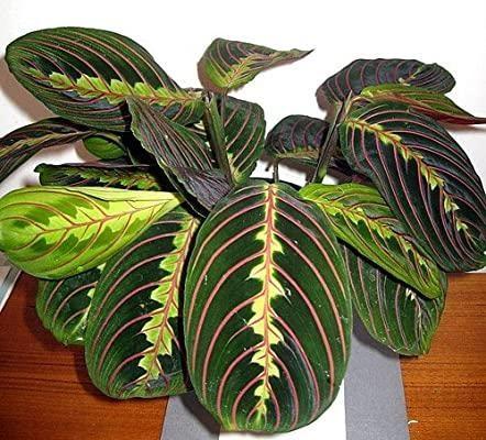 2. Red Prayer Plant by simphome.com