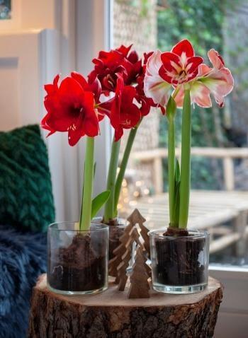3. Amaryllis Hippeastrum by simphome.com