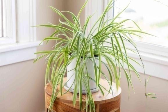 9. Spider Plant by simphome.com
